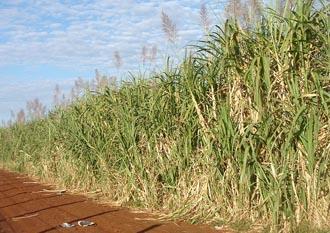Moody's estima ganhos maiores para produtores brasileiros de açúcar e álcool até 2016